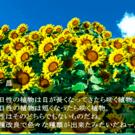 向日葵豆知識です。